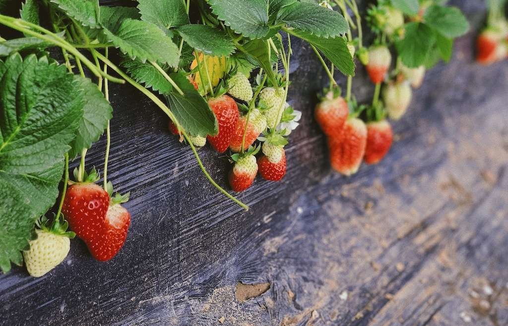 Strawberry picking in Devon 2019