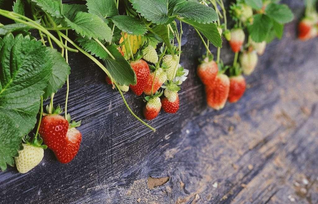 Strawberry picking in Devon 2019