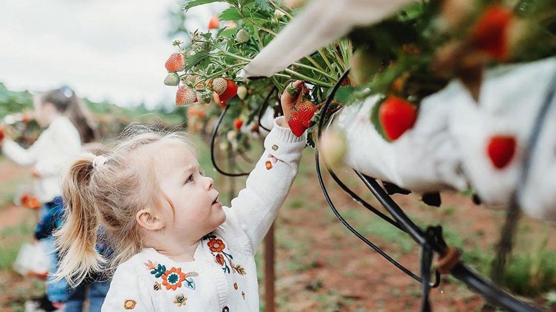 PYO Strawberries in Devon 2020