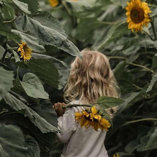 Sunflower picking in Devon 2021